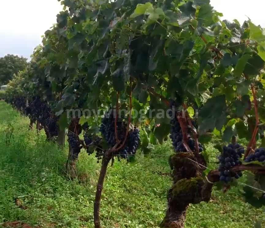 Сбор-винограда-Мерло-фото