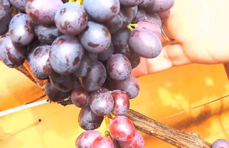 Сорт-винограда-Краса-Никополя-фото