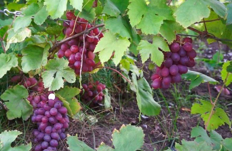 Сорт-винограда-Памяти-Хирурга-Грозди-фото