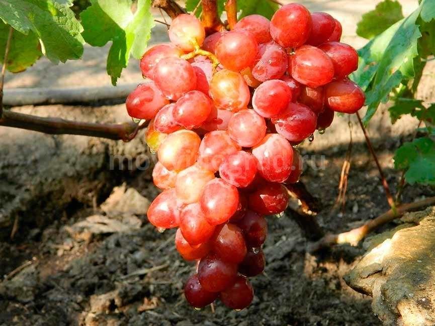 Как выглядит сорт винограда Памяти Учителя фото