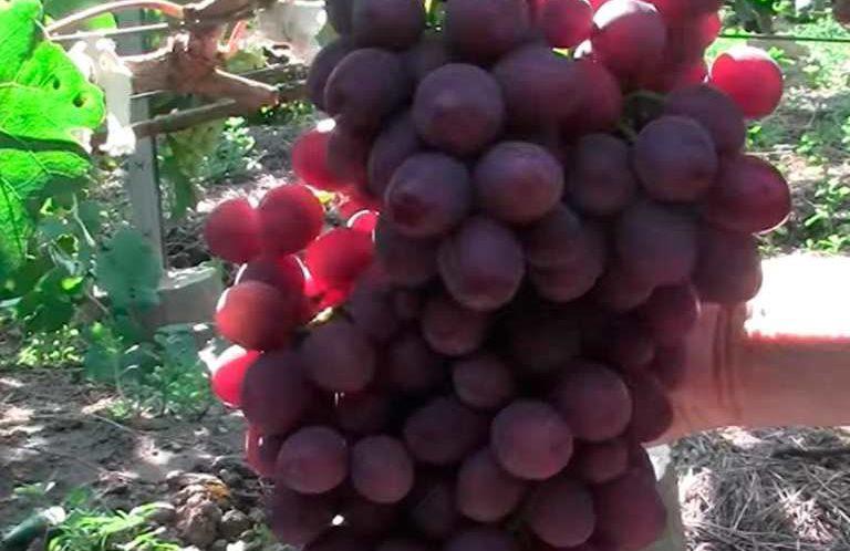 Кисть винограда Памяти Учителя фото
