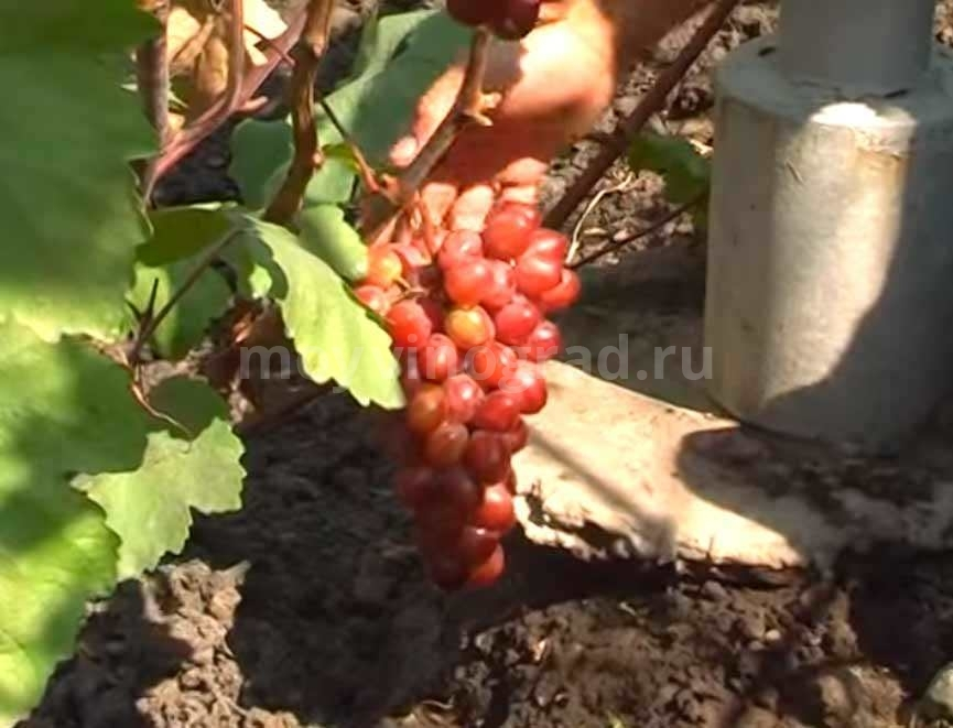 Гроздь винограда Памяти Учителя фото