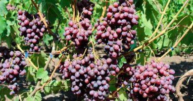Сорт винограда Памяти Учителя фото