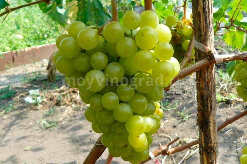 Сорт-винограда-жемчуг-саба-фото