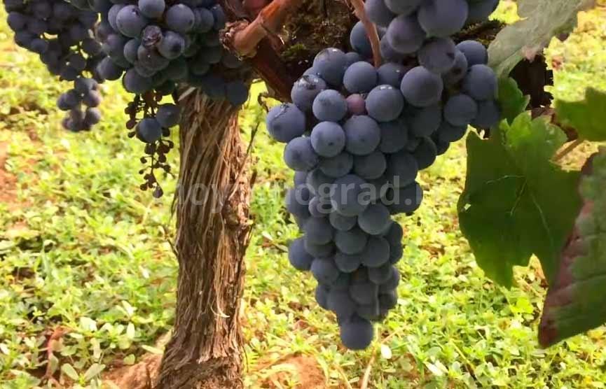 Технический-виноград-Мерло-фото