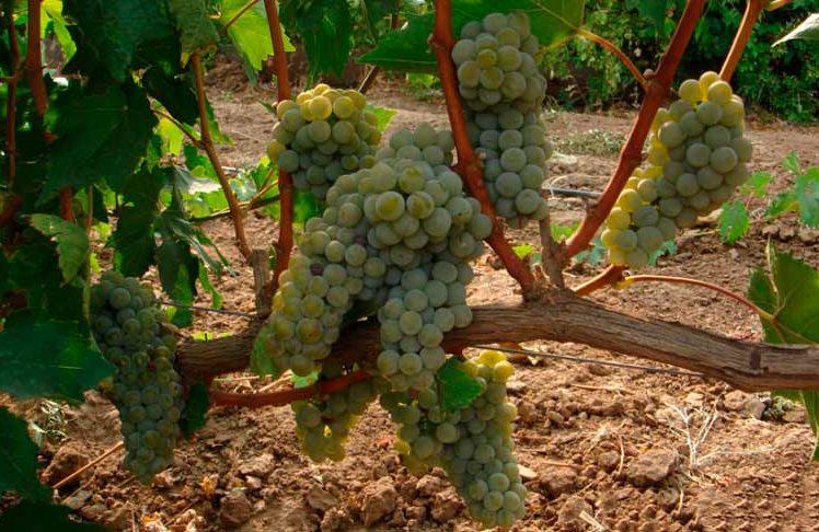 Урожайность-винограда-Бьянка-фото