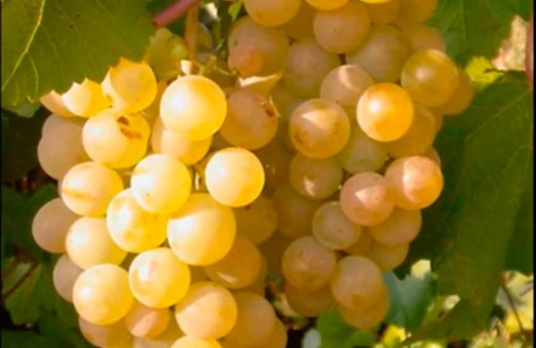 Виноград-Бианка-фото
