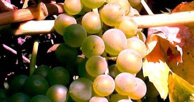 Виноград-Бианка-ягоды-фото