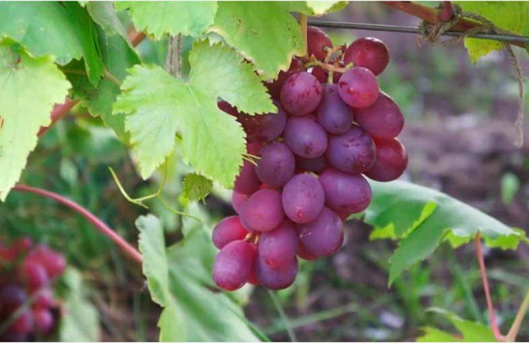 Виноград-Памяти-Хирурга-фото