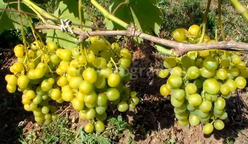 Виноград-Супер-Экстра-фото