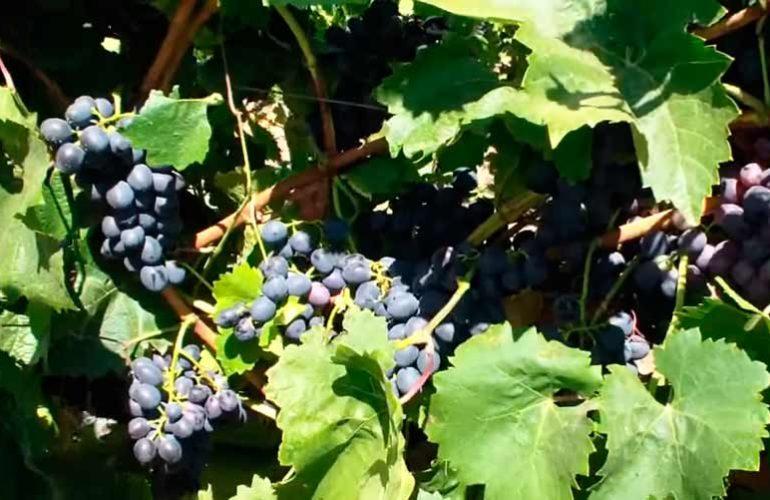 Виноград-Урожай-Молдова-фото