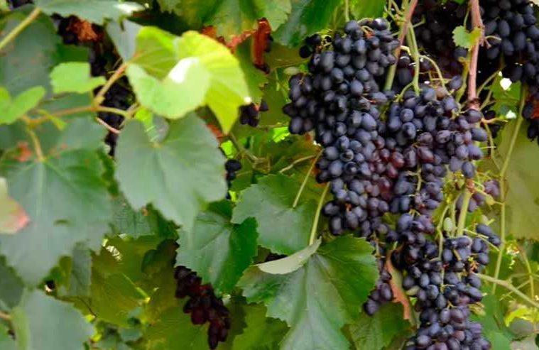 Виноград-Юпитер-США-фото