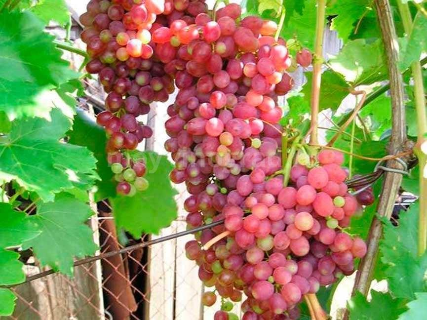 Виноград-киш-миш-лучистый-фото