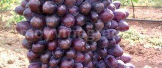 Спелые ягоды киш миш Юпитер США фото