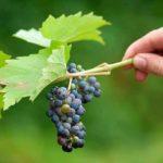 Виноград-сорта-для-подмосковья-фото