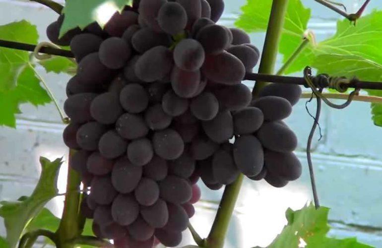 Виноград-юпитер-на-привое-фото