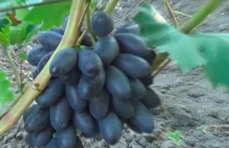 Виногрдная-гроздь-сорта-велика-фото