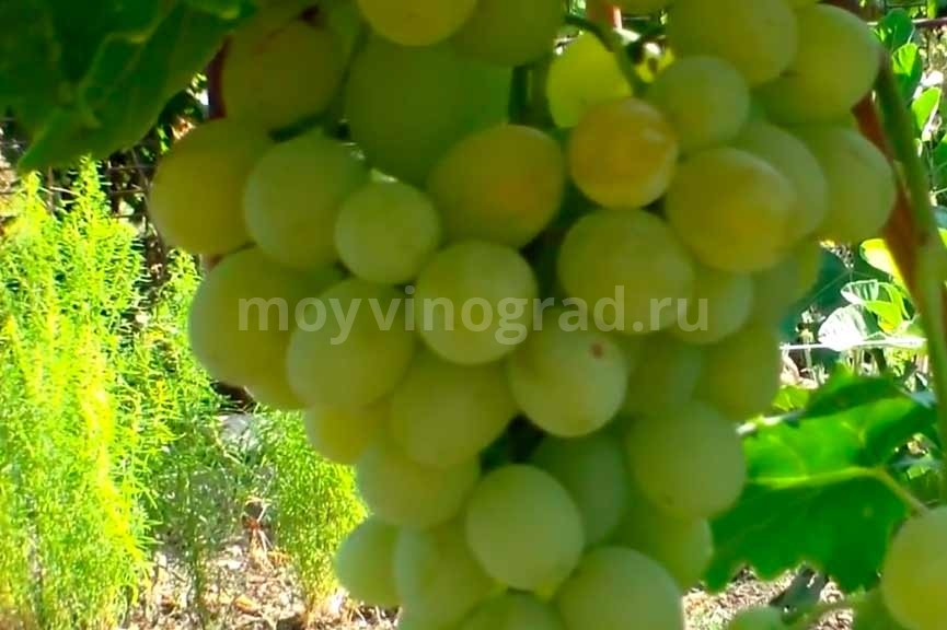 Ягоды-винограда-Антоний-Великий-фото