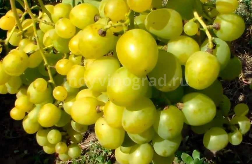 Ягоды-винограда-Супер-Экстра-фото