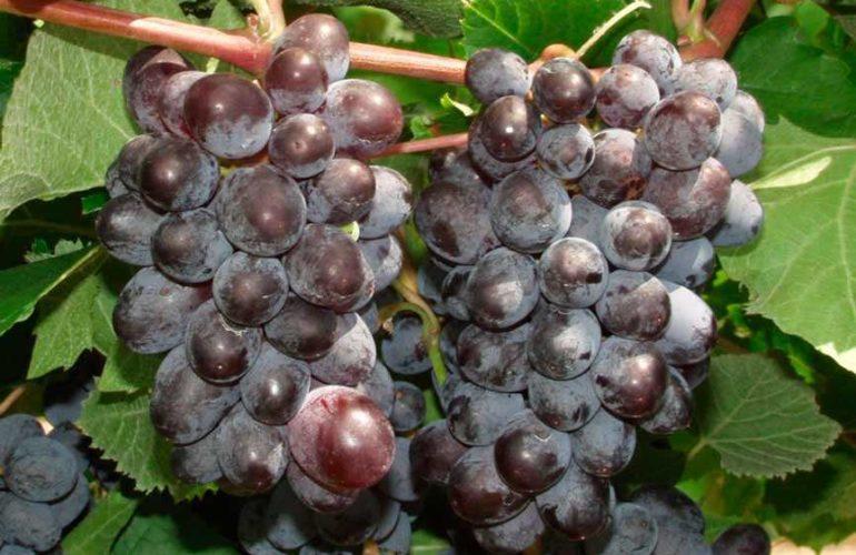 Ягоды-винограда-кишмиш-Юпитер-фото