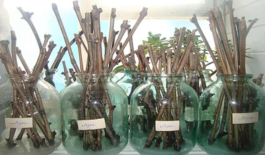 чубуки-винограда-в-банках-фото