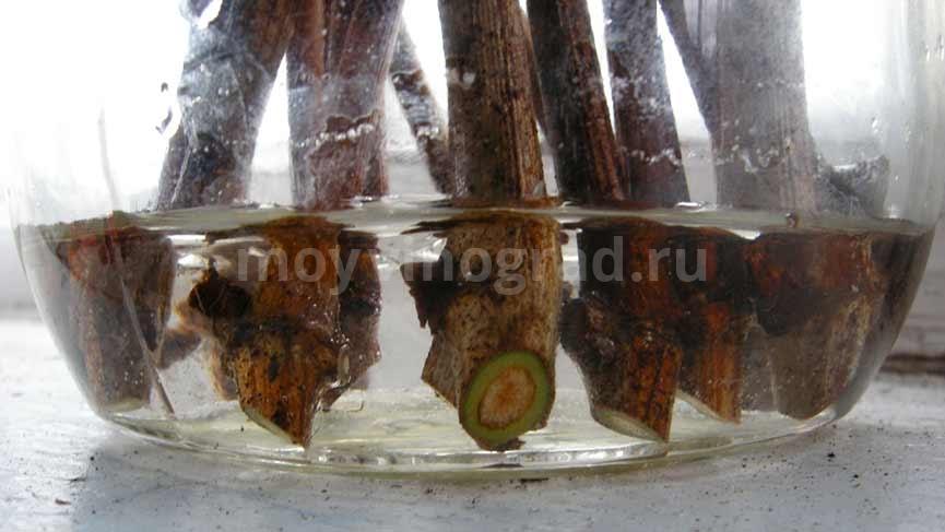 чубуки-винограда-выращивание-в-воде-фото