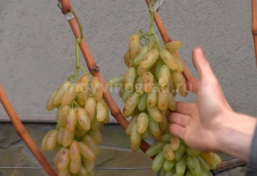 Грозди винограда Дамские Пальчики фото