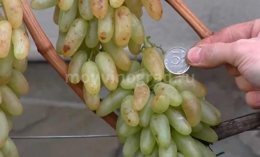 Дамские пальчики виноград с монеткой фото