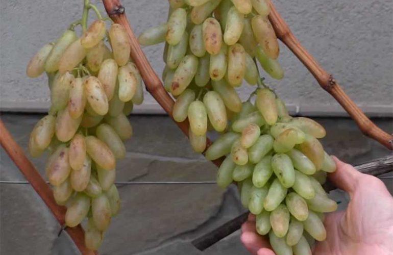 Красивые грозди винограда Хусайне белый фото