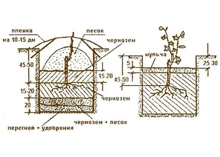 Схема посадки винограда фото