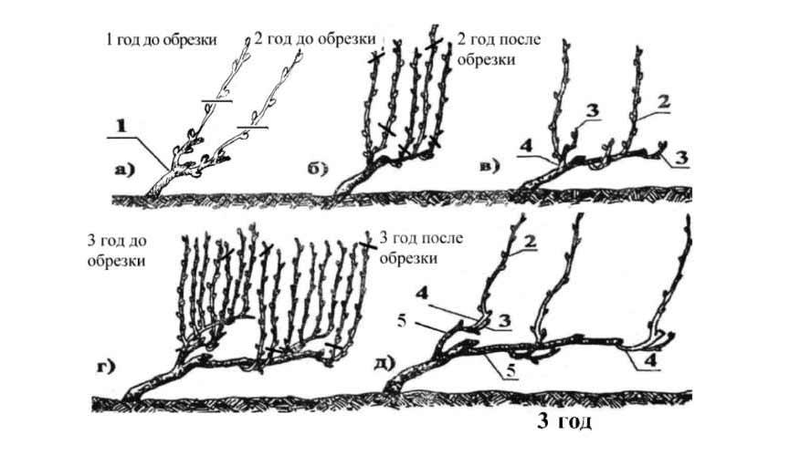 Выращивание фрукта киви в России