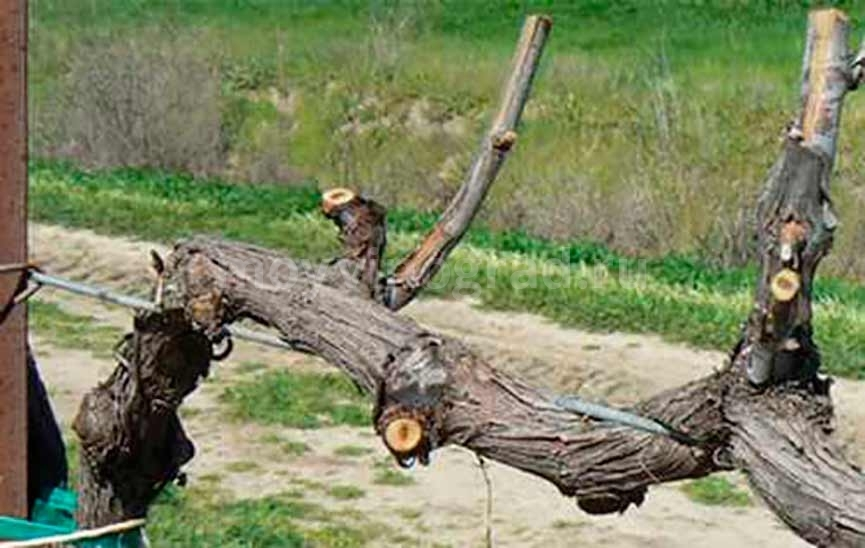 обрезанная лоза винограда фото