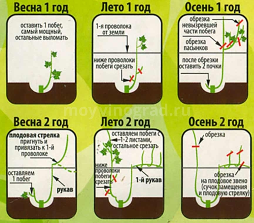 правила обрезки винограда картинка