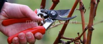 Обрезаем виноград весной фото