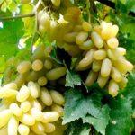 Виноград сорта Дамский пальчик фото