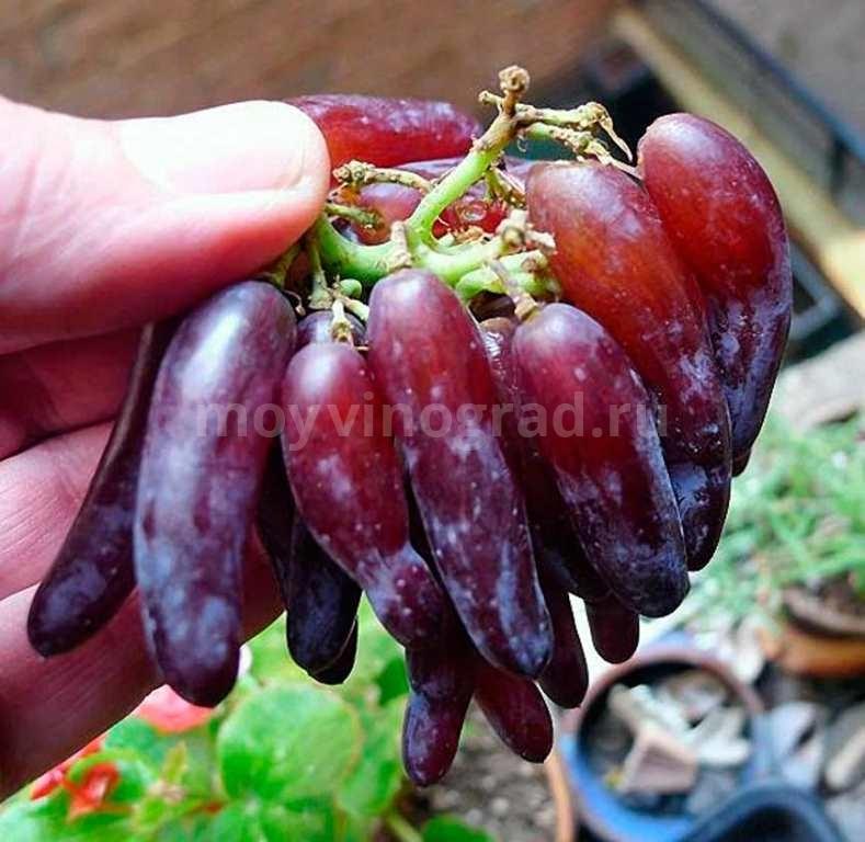ведьмины-пальцы-ягоды-фото