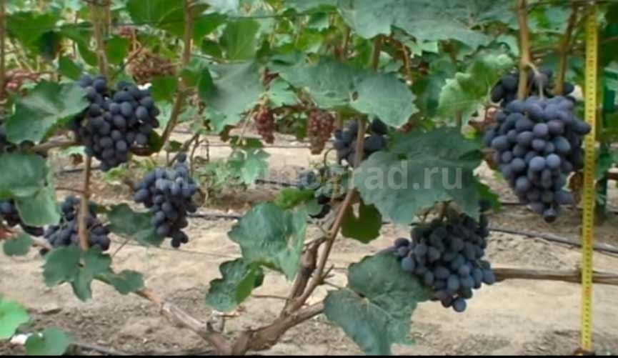 Кисточки винограда Гала фото