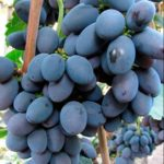Сорт винограда Гала описание фото