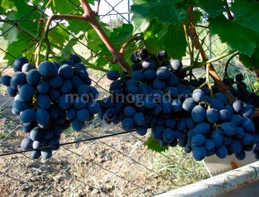 Гроздь винограда Гала фото