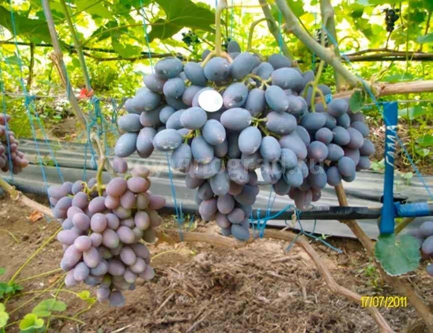 винограда Гала ягоды фото