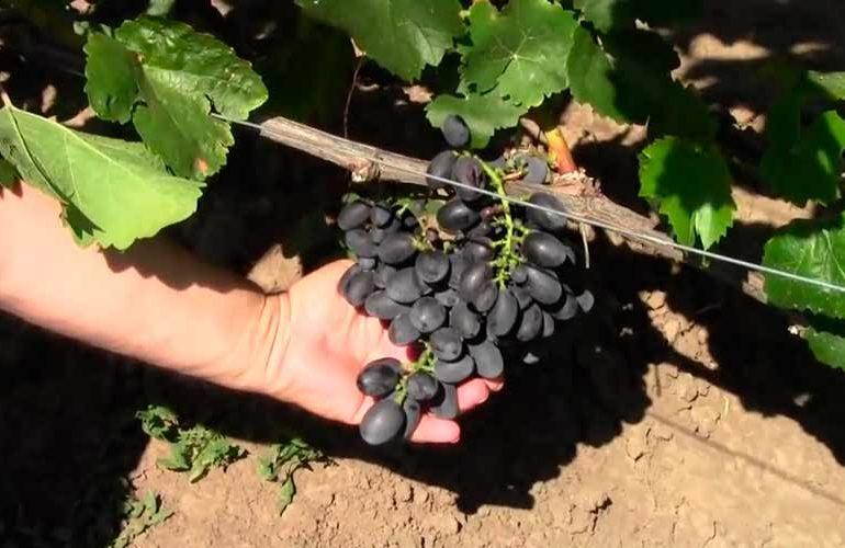 Виноград Гала на кусту фото