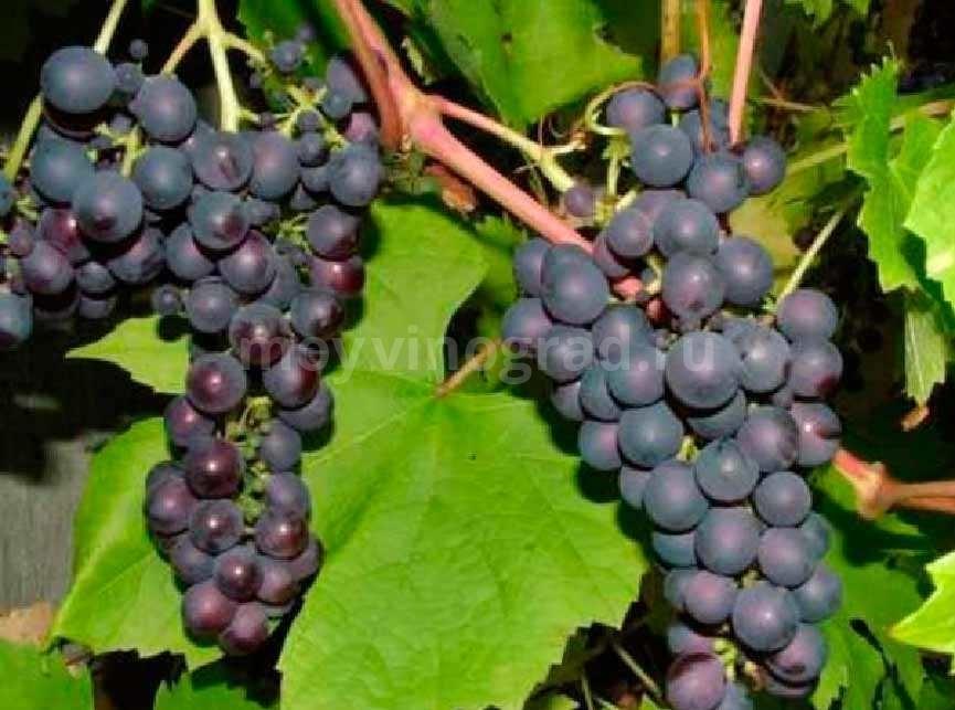 виноград-изабелла-фото