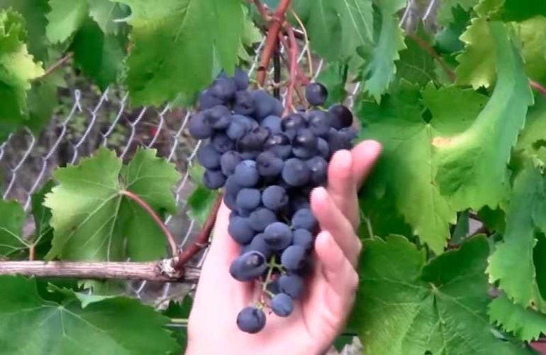 Гроздь винограда Муромец фото