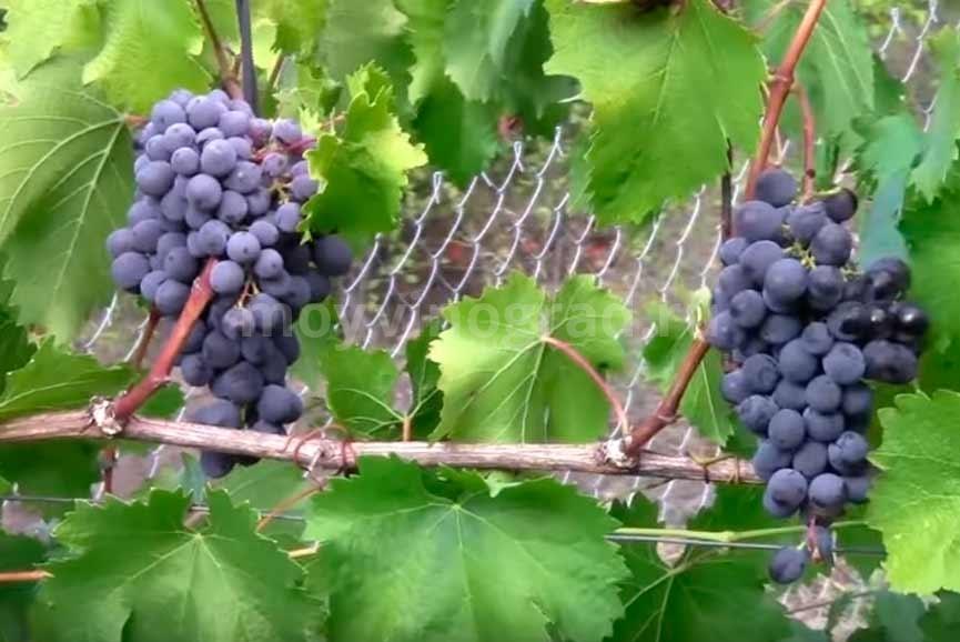 Уход за виноградом муромец фото