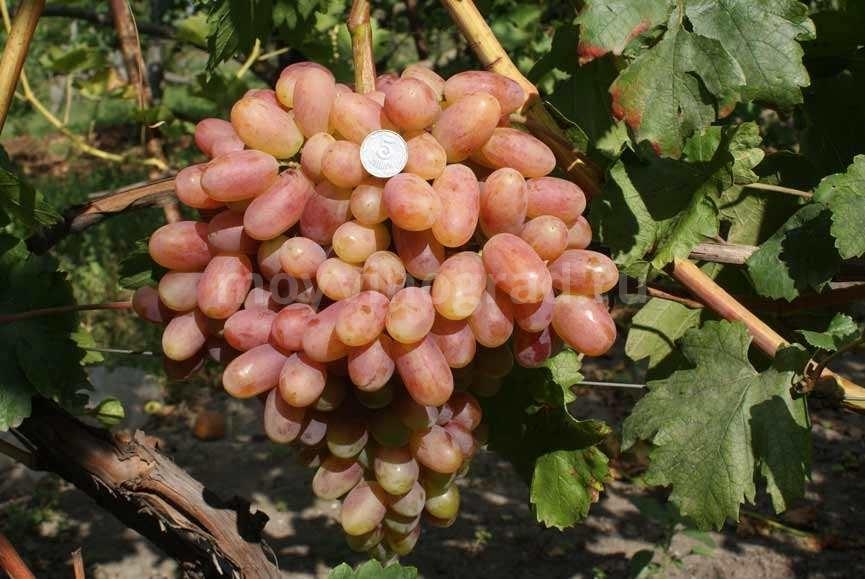 виноград-преображение-фото