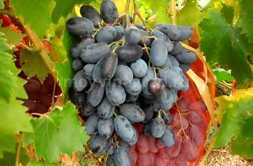 Выращивание винограда Руслан фото