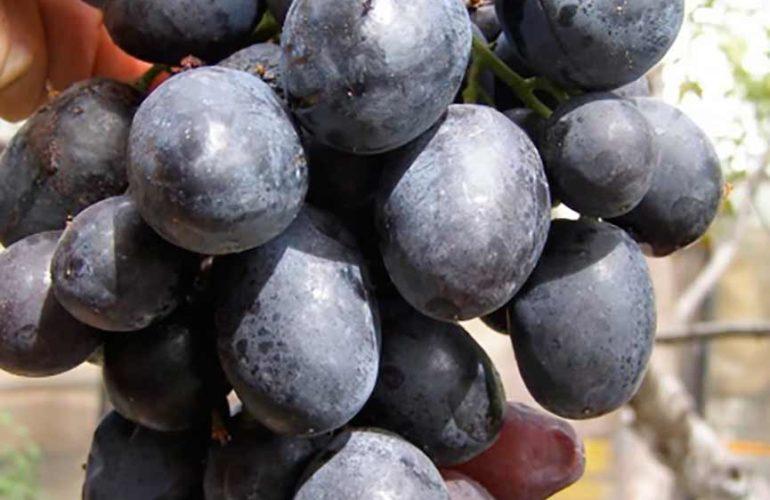 Ягоды винограда Руслан фото