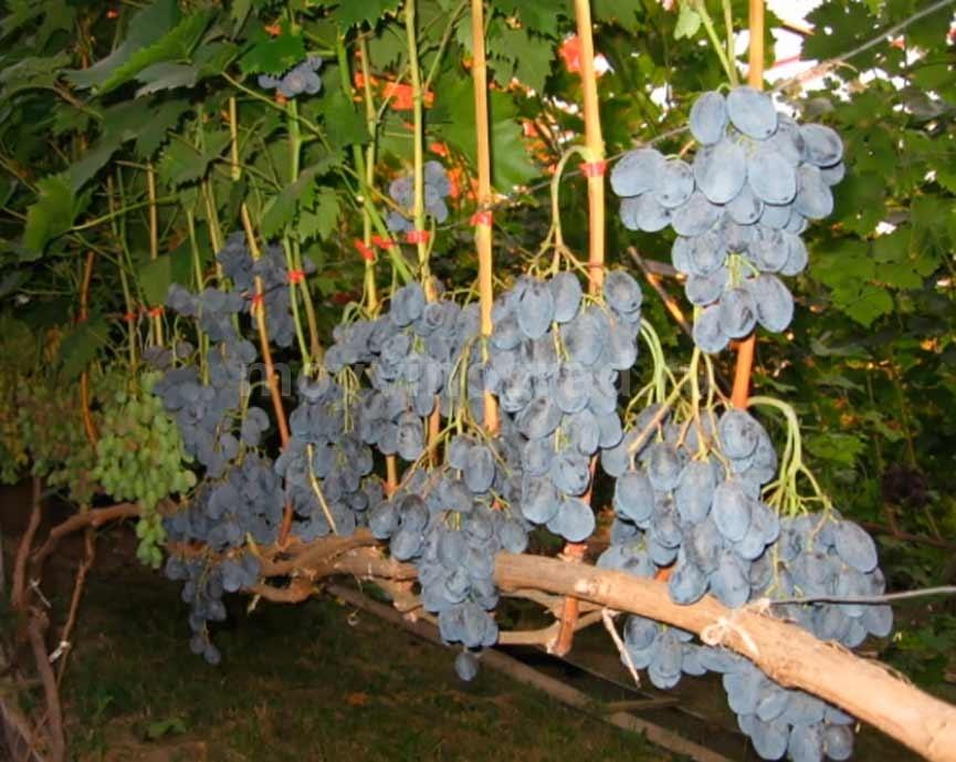 Урожай сорта Руслан фото