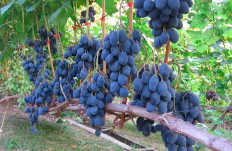 Виноградник - сорт Руслан фото