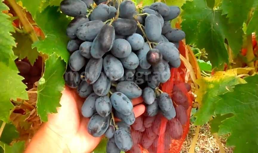 Сорт винограда Руслан фото